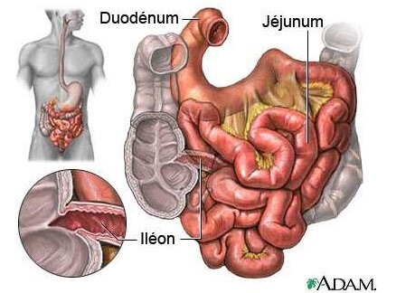 intestin grêle 01