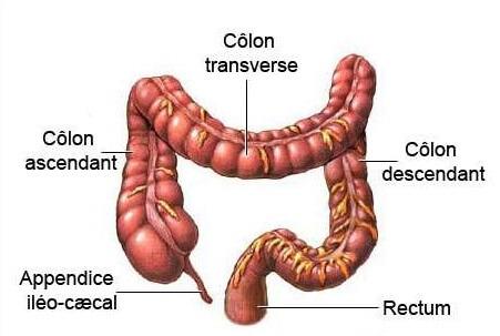 schéma colon