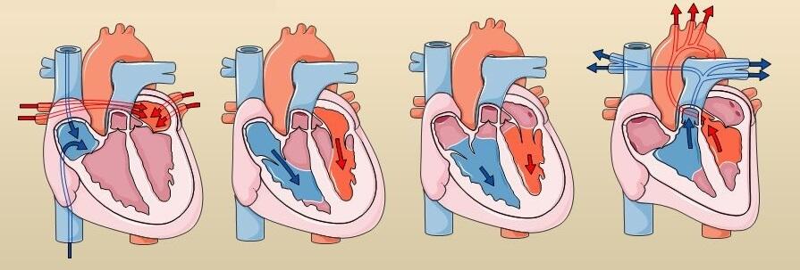 cœur et cycle cardiaque